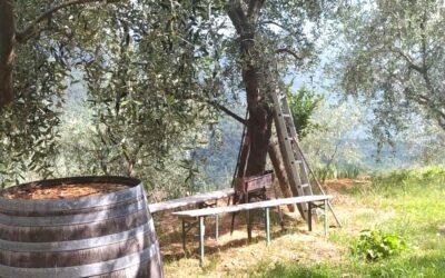 La potatura degli olivi: come e quando potiamo