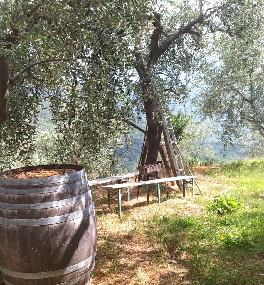 Potatura di un olivo secolare in Liguria