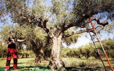 La brucatura delle olive: come raccogliamo le olive in montagna
